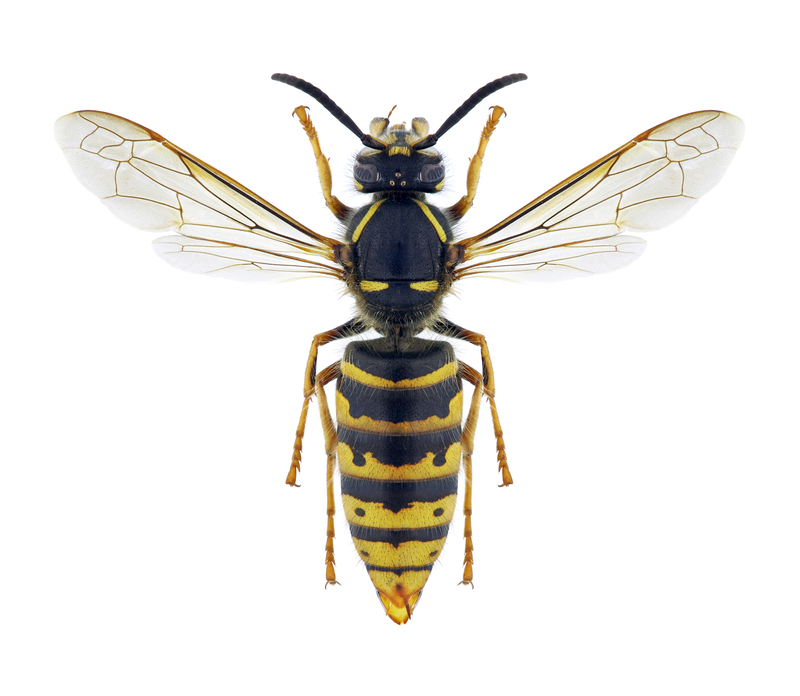 Wasp Vespula vulgaris (female)